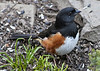 Eastern Towhee (Roufous Sided Towhee) - male