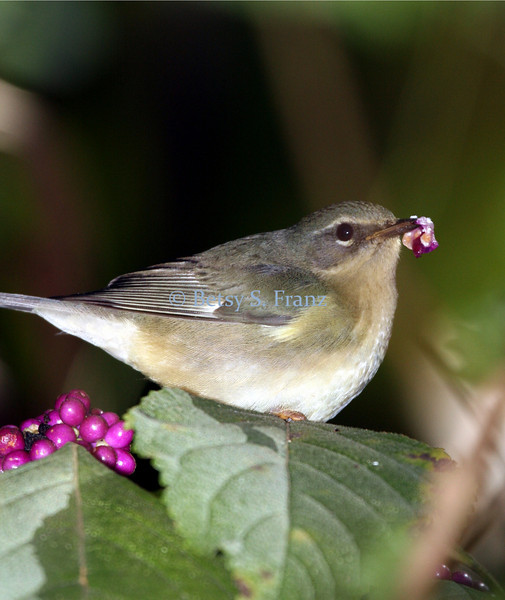 Female black-throated blue warbler on beautyberry