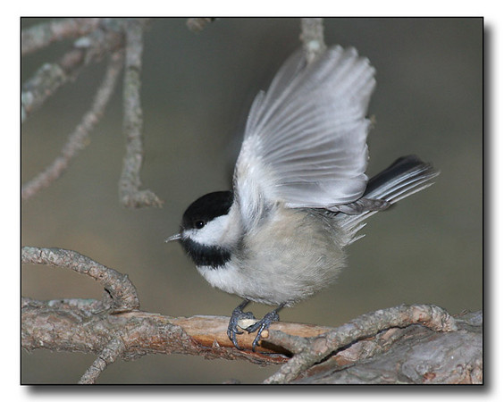 quotThe Chickadee has Landed quot (57112863)