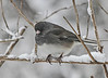 Dark Eyed Junco..  March 2013