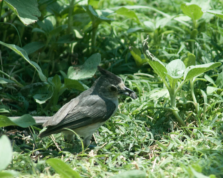 20130702_Black Crested Titmouse_08
