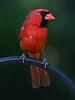 Cardinal (113153752)