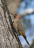 Common Flicker - yellow shafted - male