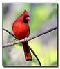 Cardinal (59166314)