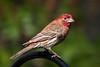backyear birds-306a