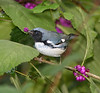 Male black throated blue warbler eating beauty berry.