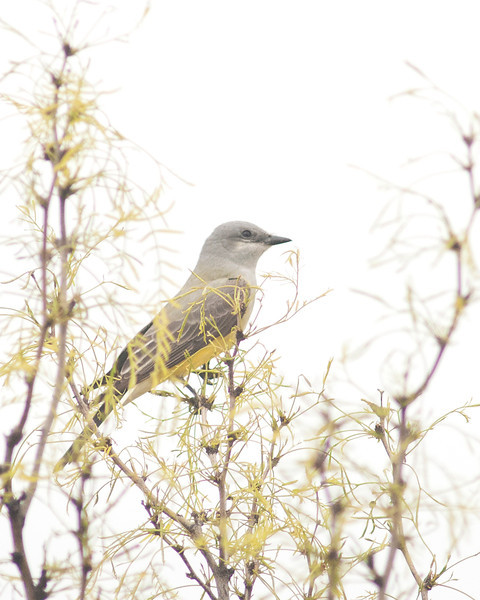 20130506_Birds_2607  Western Kingbird
