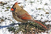 Female Cardinal in the snow...