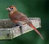 Immature cardinal