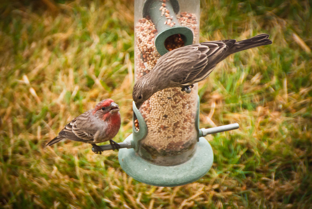 Adult Male and Female House Finch