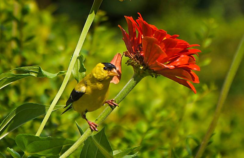 goldfinch-107sm