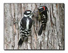 Downy Woodpeckers (80457496)
