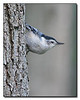 White Breasted Nuthatch (66380133)