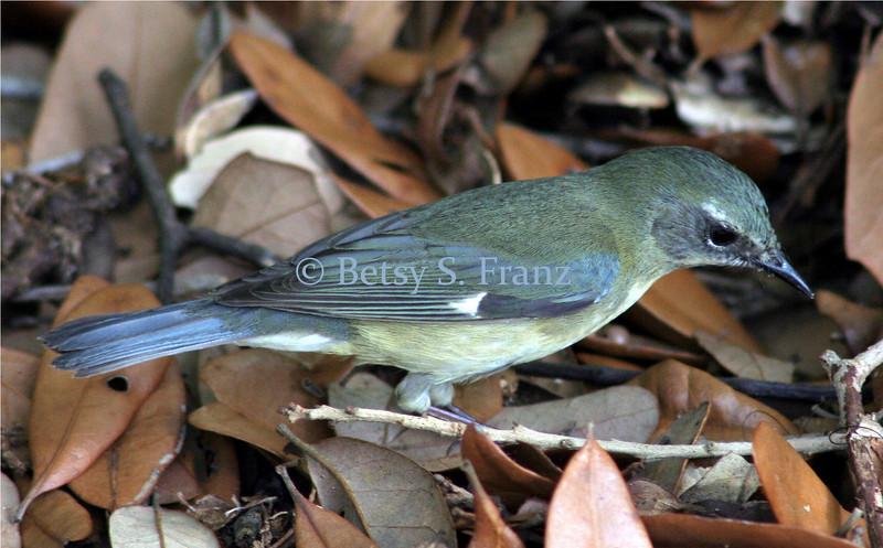 Female black throated blue warbler.