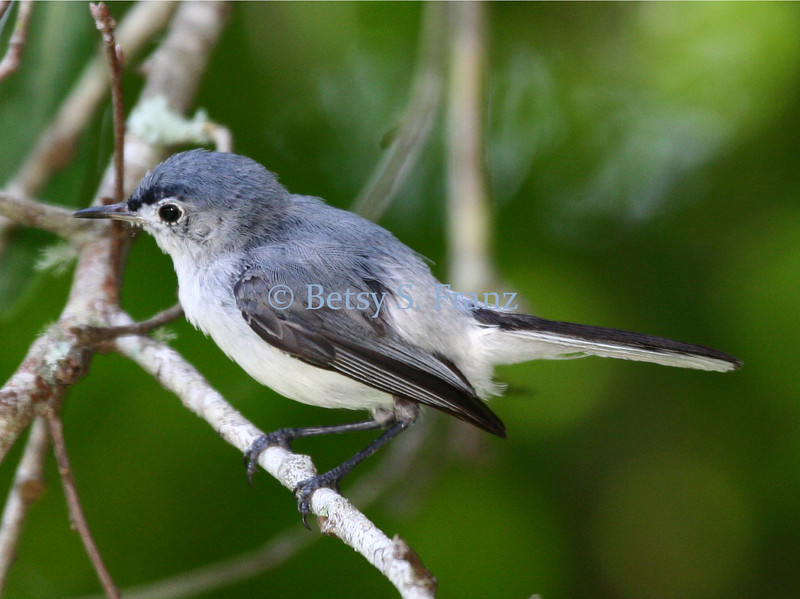Blue-gray gnatcatcher.