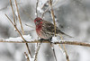 Leaning into the wind...  House Finch