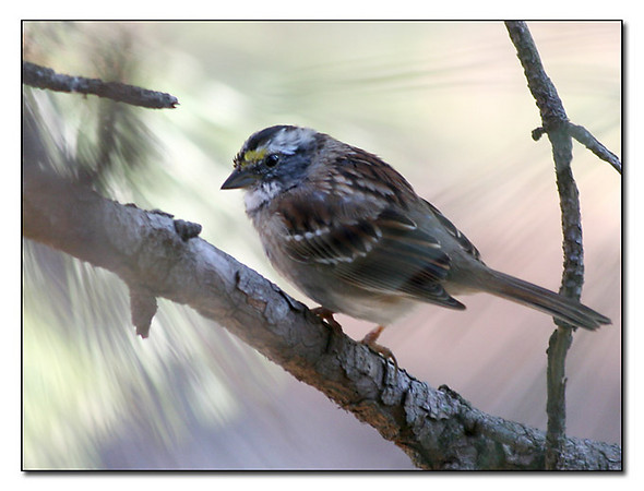 Early Sunlight - White Throated Sparrow (57963811)