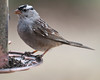 20130410_Birds_0006  White-Crowned Sparrow