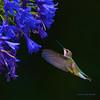 RUFOUS HUMMINGBIRD  304020215