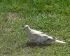 20130625_Rare Collared Dove_13
