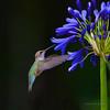 RUFOUS HUMMINGBIRD  302020215