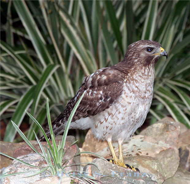 Hawk at our backyard pond