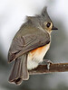 Tufted Titmouse.. winter wind blowing .. February morning