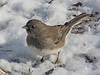 Junco in a snow covered lawn