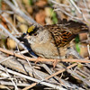 GOLDEN CROWNED SPARROW  295020215