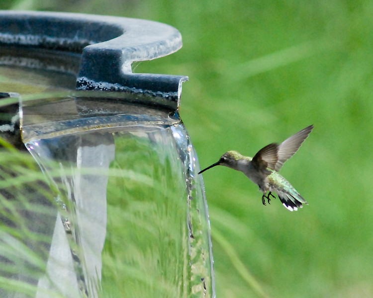 Female Black-chinned Hummingbird getting a drink. (1 of 3)