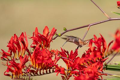 Anna's Hummingbird - Female