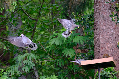 Band-Tailed Pigeons in Flight