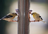 American Goldfinches.