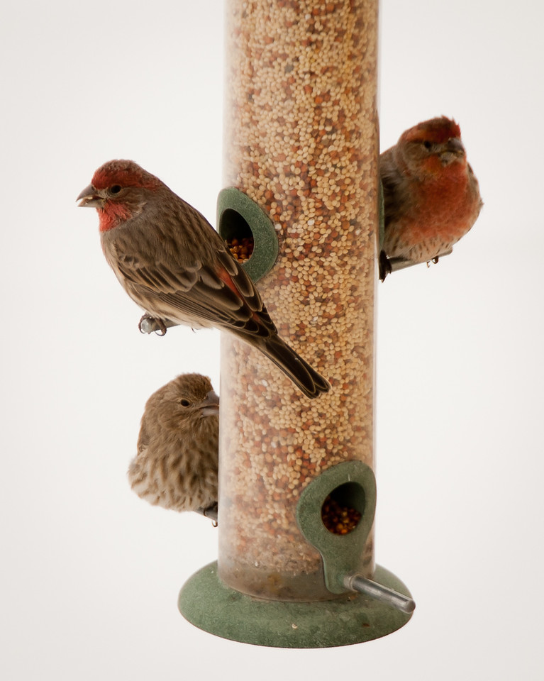 House Finch Family (Males with Red accent)