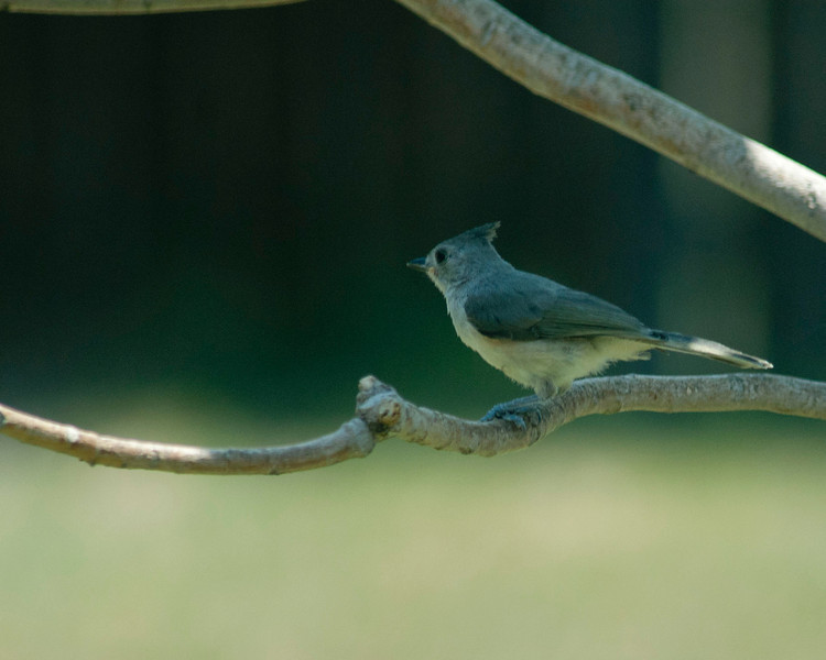 20130702_Black Crested Titmouse_01