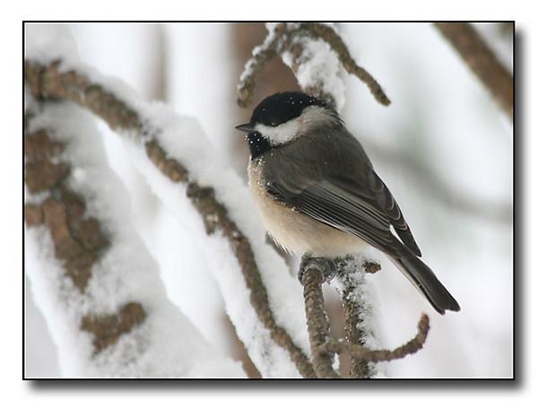 Black Capped Chickadee in Winter (56077040)