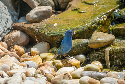 Indigo Bunting, pausing for a drink
