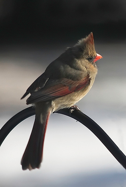Early Morning Visitor - Female Cardinal