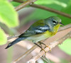 Don't you just love it when they pose? And this Northern Parula is one of my favorite birds!