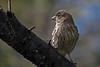 backyear birds-305a
