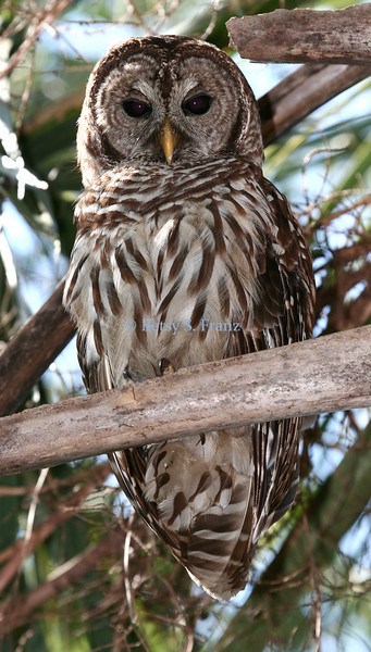 This beautiful barred owl is one of my favorite backyard visitors.