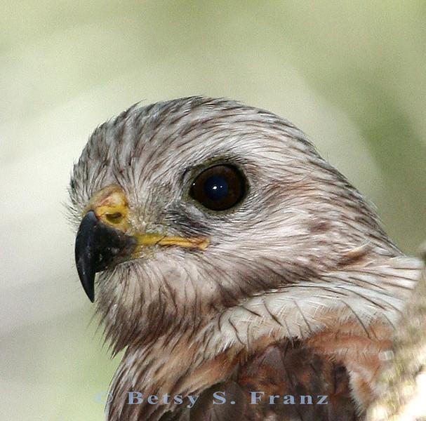 Red-shouldered hawk in our backyard, Melbourne, Florida