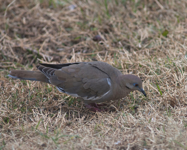 White Wing Dove.