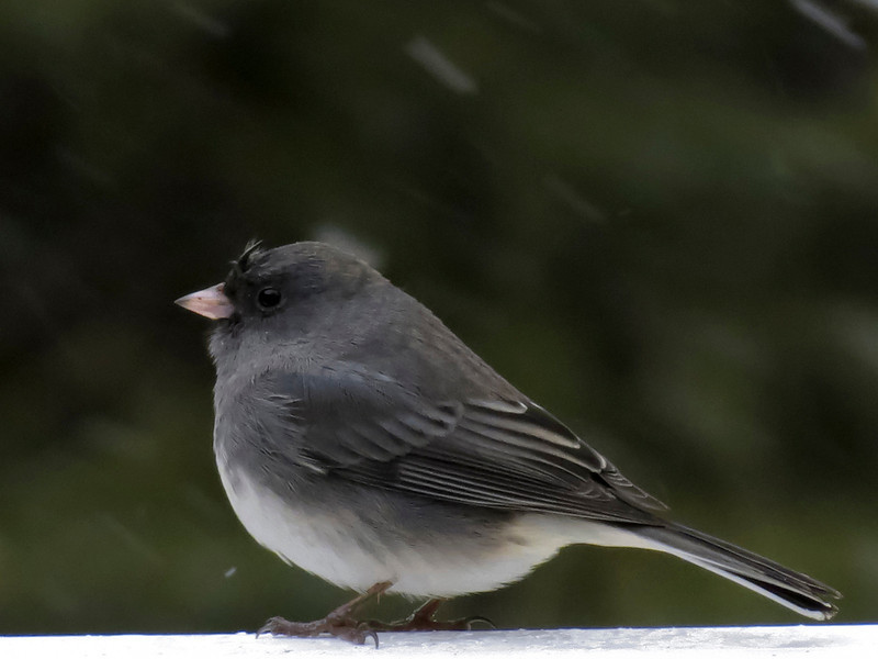 Junco in a snowstorm....