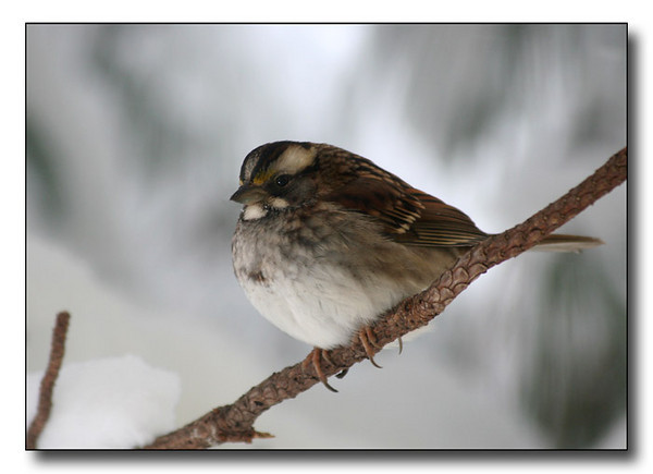 White Throated Sparrow in Winter (57535145)