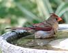 Cardinal in the birdbath