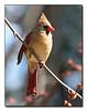 Cardinal (57430977)