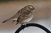 White Throated Sparrow - Winter VIsitor to the Feeder
