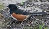 Eastern Towhee (Roufous Sided Towhee) - male   4/14/13
