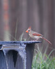 Female Cardinal. (1 of 2)
